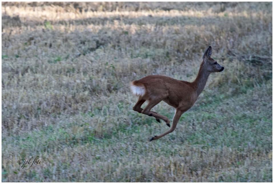 auf der Flucht ,der Fotograf fast zu spät  --  Achtung Mähdrescher im Anmarsch