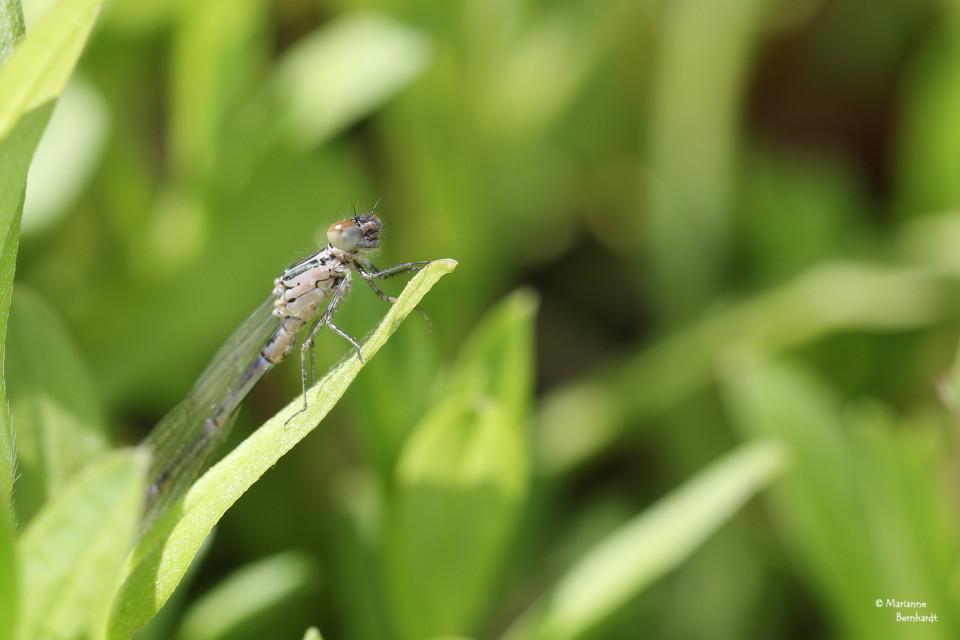 junge Libelle, noch ganz blass, leider habe ich den Schlupf verpasst...